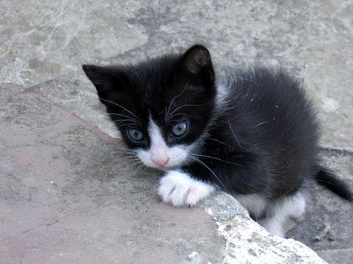 rate-my-cat-kitten-tuxedo-kitten